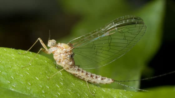 Cloeon dipterum, female imago (adult).